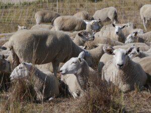 Sheep grazing at Beaver Creek Meewasin