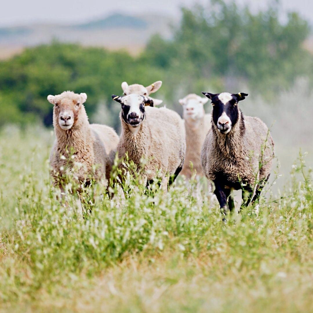 Sheep get ready to graze at Beaver Creek Meewasin