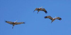 A flock of Sandhill Cranes flies above Beaver Creek Meewasin