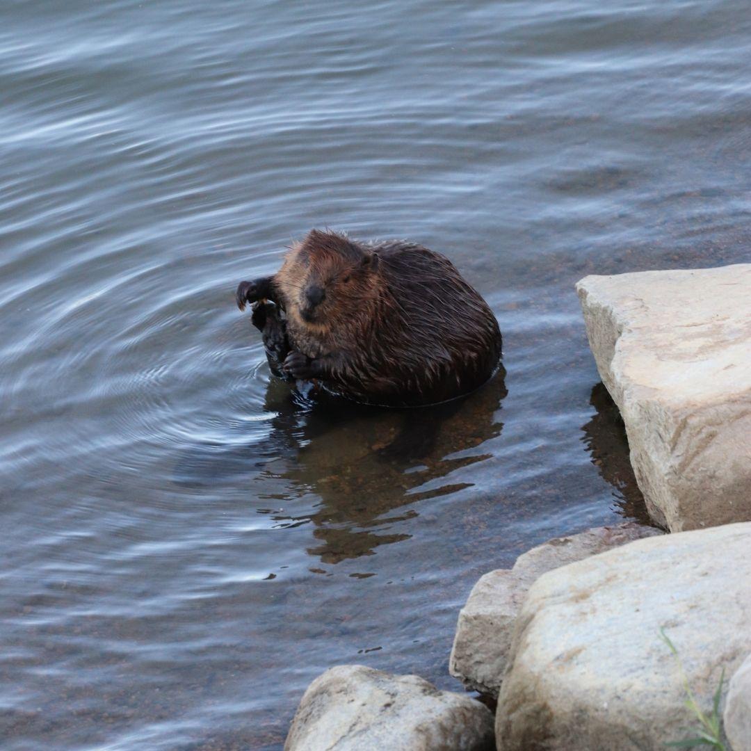 A beaver sits in the South Saskatchewan River Meewasin