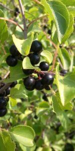 European Buckthorn berries in the Meewasin Valley
